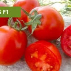 فروش بذر گوجه فرنگی جی اس 15
