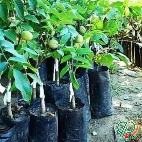 فروش انواع نهال اصلاح شده گردو سیب بادام گیلاس و..