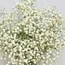 فروش بذر(گل عروس هلندی)یا(چیپسفیلیا)