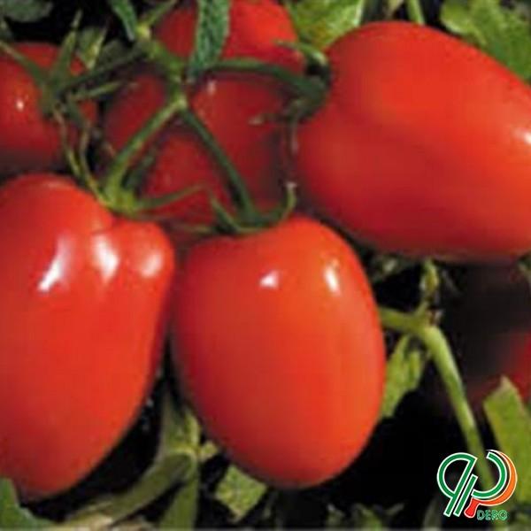 فروش بذر گوجه فرنگی هیبرید فضای باز آر اف تی