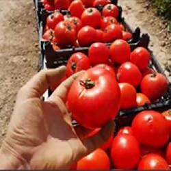 بذر گوجه فرنگی موناکو و 8320