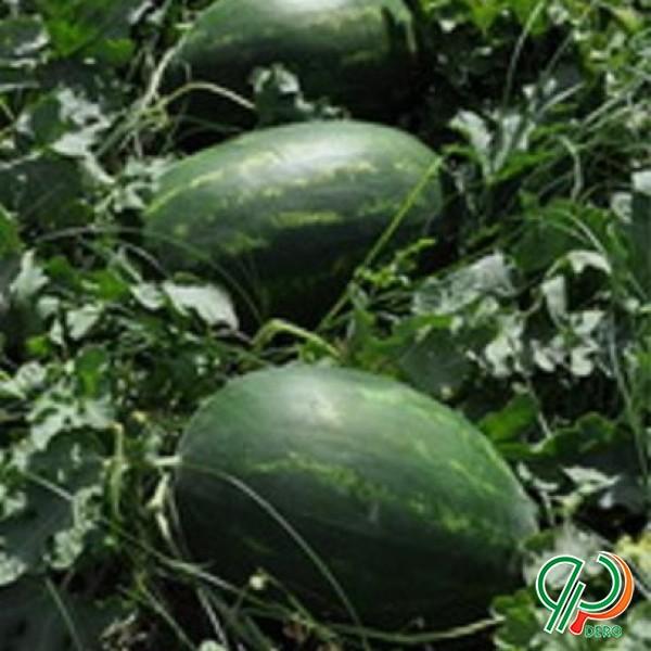 فروش بذر هندوانه سامانتا