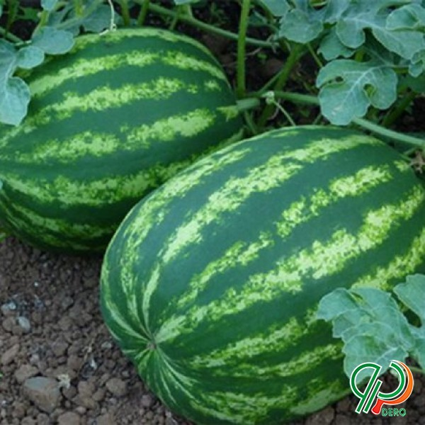 فروش بذر هندوانه کریمسون باراکا