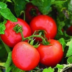 بذر گوجه فرنگی فرمونت اف یک