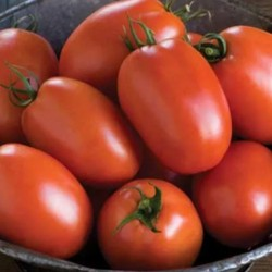 بذر گوجه فرنگی سوپر چف ۱۰۰ گرمی گاردسکو آمریکا