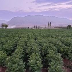 بذر سیب زمینی