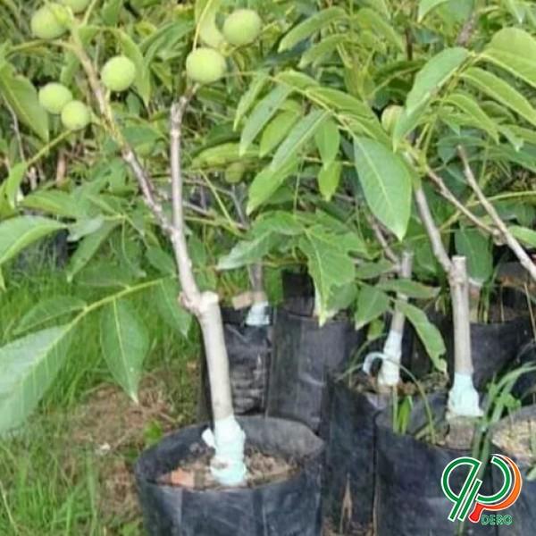 فروش نهال گردو پیوندی ونهال میوه