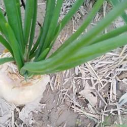 فروش بذر پیاز سفید شیری