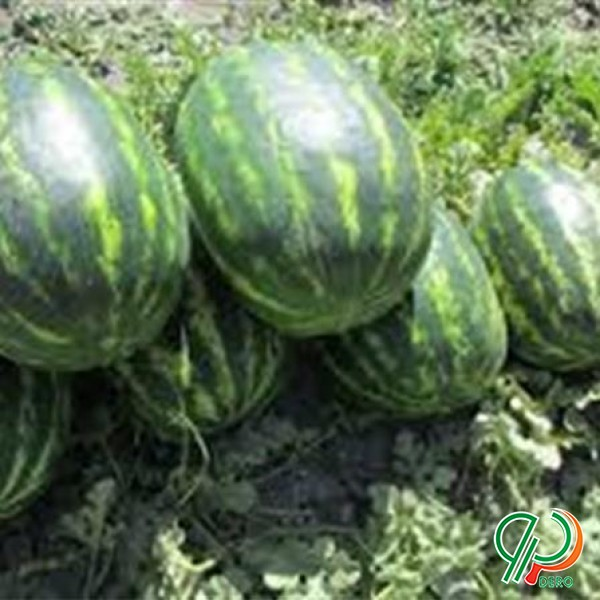 فروش بذر هندوانه تاپ گان زودرس کریمسون سوئیت