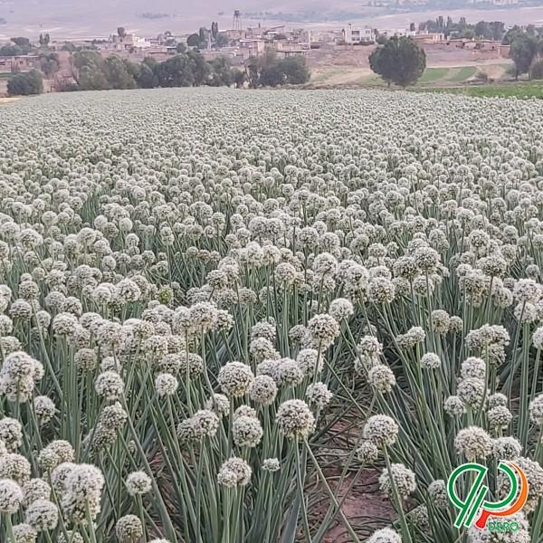 بذر پیاز فلات زرگان شش ماه درجه یک