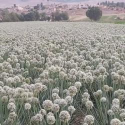 بذر پیاز فلات شش ماه