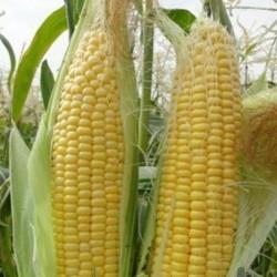 بذر ذرت شیرین بیسین
