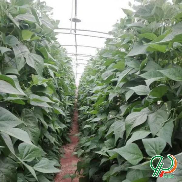 بذر لوبیا سبز گلخانه ای
