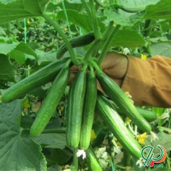 فروش بذر خیار گلخانه ای نستار