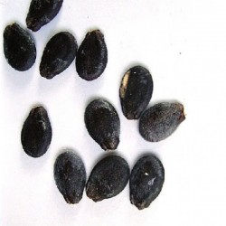 فروش بذر هندوانه