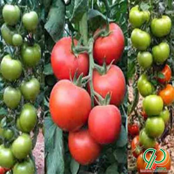 بذر گوجه فرنگی گلخانه ای مایا